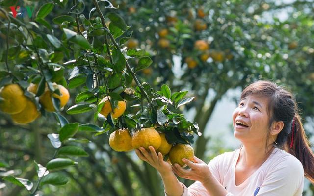 Vườn cam của gia đình chị Trần Thị Hương ở thôn 1 – Làng Bát, xã Tân Thành, huyện Hàm Yên cho thu hoạch trên 100 tấn quả mỗi năm.