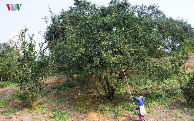 Tỉnh Tuyên Quang đã quy hoạch bổ sung trên 3.900 ha để hình thành vùng sản xuất cam sành với quy mô diện tích trên 6.800 ha.