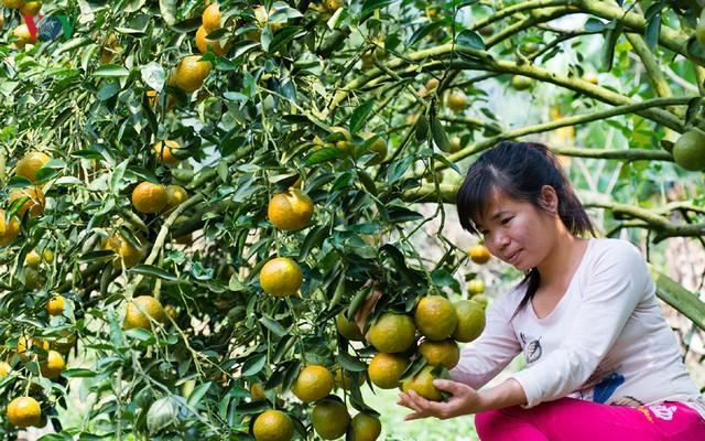 Phấn đấu đến năm 2020, 100% diện tích cam ở Tuyên Quang được sản xuất theo tiêu chuẩn VietGAP.