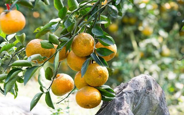 Sản phẩm Cam sành Hàm Yên đã trở thành 1 trong 50 loại quả ngon nhất Việt Nam, Top 10 thương hiệu – Nhãn hiệu nổi tiếng Việt Nam từ năm 2013.