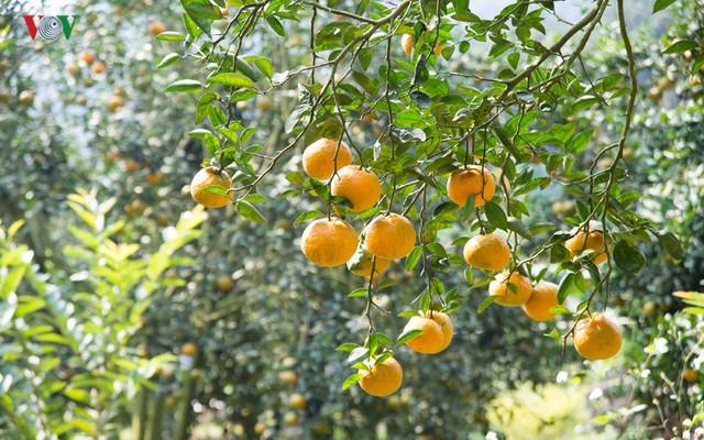 Chính quyền và các cơ quan chức năng của tỉnh đang đẩy mạnh xúc tiến đầu tư, hỗ trợ người trồng cam tìm kiếm thị trường, đặc biệt là thị trường các tỉnh phía Nam và xuất khẩu.