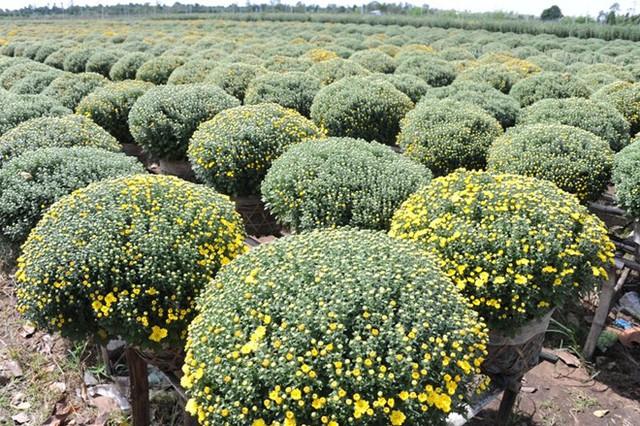 Nhiều vườn cúc mâm xôi thiệt hại đến 80% do mưa kéo dài. Ảnh: Ngọc Trinh.