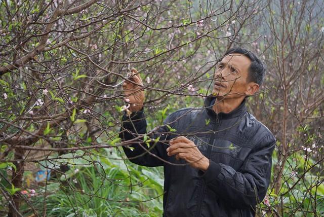 Thời tiết khắc nghiệt khiến đào bung nở sớm. Ảnh: Nguyễn Dương.