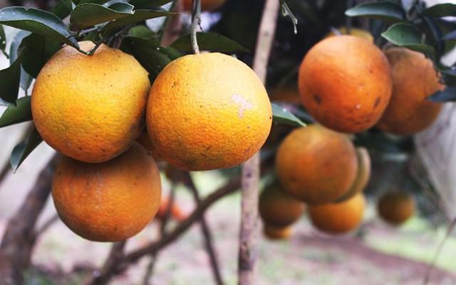 Cam Khe Mây trở thành đặc sản nổi tiếng không chỉ bởi màu đỏ gạch đẹp mắt, mà còn ở vị ngọt thanh, hương thơm đặc trưng, tép mọng nước. Ảnh: Văn Trường.