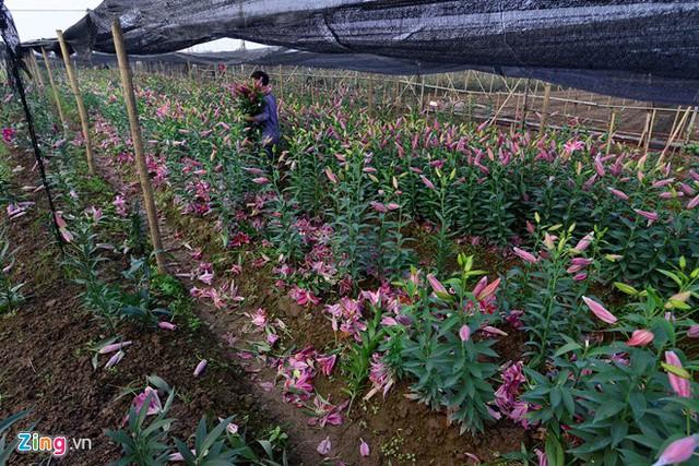 Mùa hoa năm nay, nhiều ruộng ly tại làng hoa Tây Tựu nở sớm 15-30 ngày trước Tết.