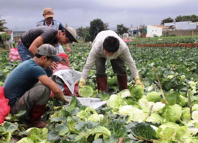 Nhiều vùng rau ở Lâm Đồng đã khôi phục sản xuất, đảm bảo cung ứng thị trường dịp Tết