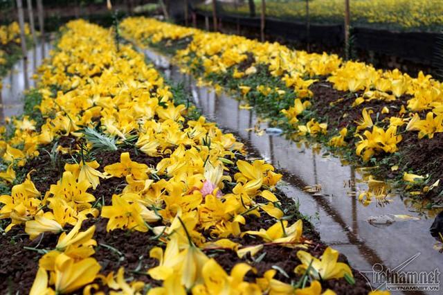 Hoa ly rụng phủ kín vườn