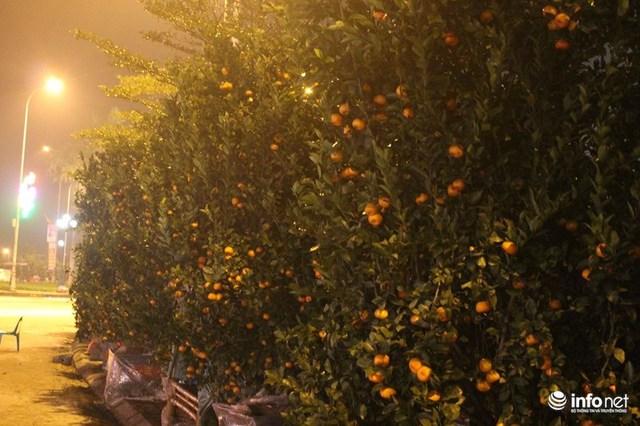Thị trường cây quất chơi tết năm nay sức mua giảm nặng