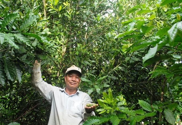 Đến năm 2030 Lâm Đồng có khoảng 15.000ha cây mắc ca