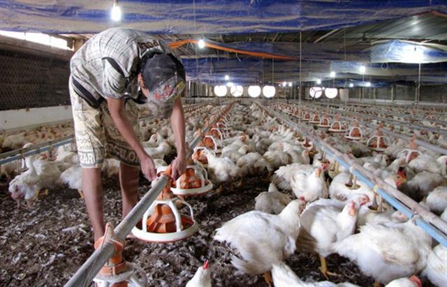 Giá gà trắng giảm hơn 10 ngàn đồng chỉ trong vòng 1 tháng