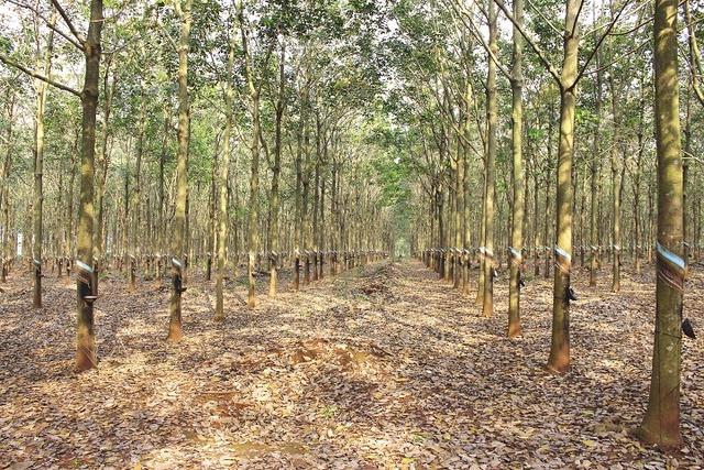 Toàn tỉnh Bà Rịa - Vũng Tàu có hơn 20.000 ha trồng cao su.