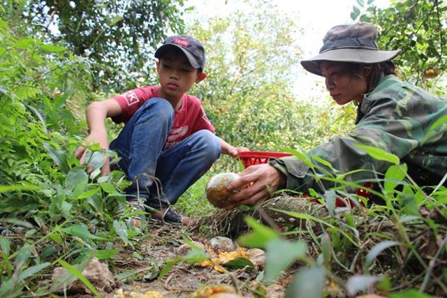 Nhiều hộ dân trồng cam huyện Hương Sơn đang lo đổ nợ vì cam rụng đầy cội, rớt giá. Ảnh: Phạm Trường