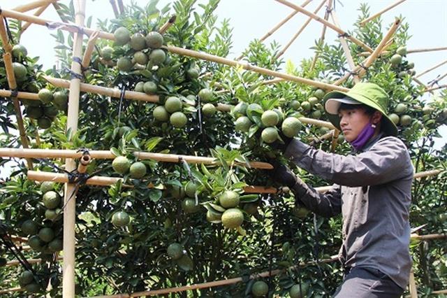 Cam sành, quýt đường mang lại nguồn thu bạc tỷ cho nông dân xã Đắk Nia