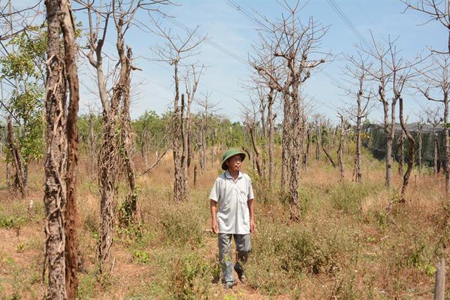 Nông dân Lê Văn Láng bên vườn tiêu chết khô