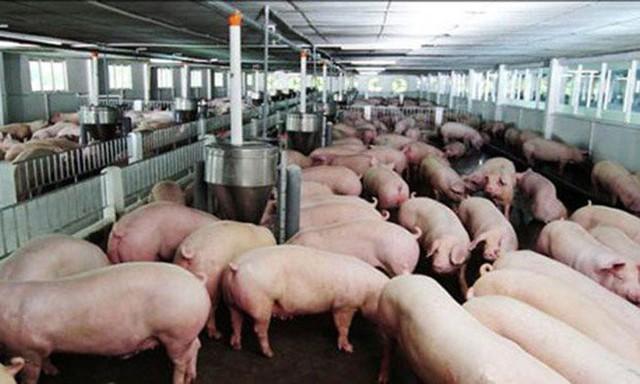 Giá thịt lợn hơi xuất chuồng đang chạm đáy trong vòng 30 năm khiến người nuôi thua lỗ nặng