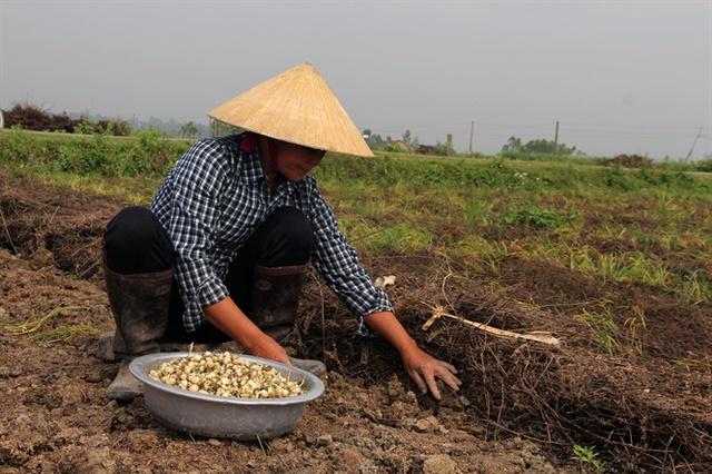 Nông dân Đô Lương thu hoạch hành tăm