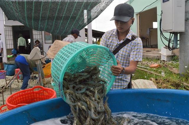 Người nuôi tôm phấn khởi vì thu hoạch tôm ngay thời điểm trúng giá