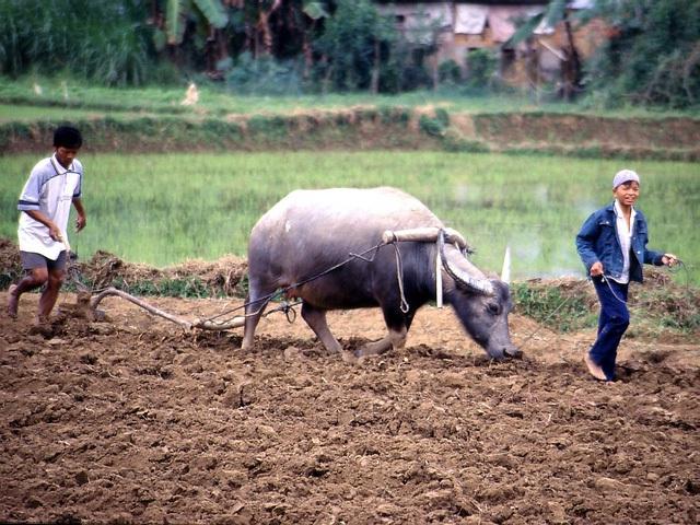 Hình ảnh quen thuộc ở nông thôn Việt Nam.