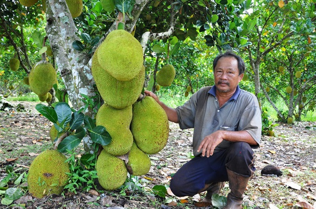 Lão nông Trần Minh Chánh bên cây mít Thái lá bàng trĩu quả