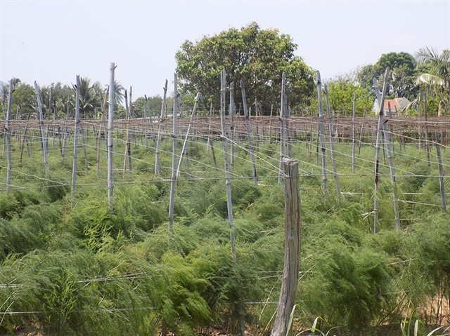 Nhiều hộ trồng măng tây xanh thu nhập 400 - 600 ngàn đồng/ngày