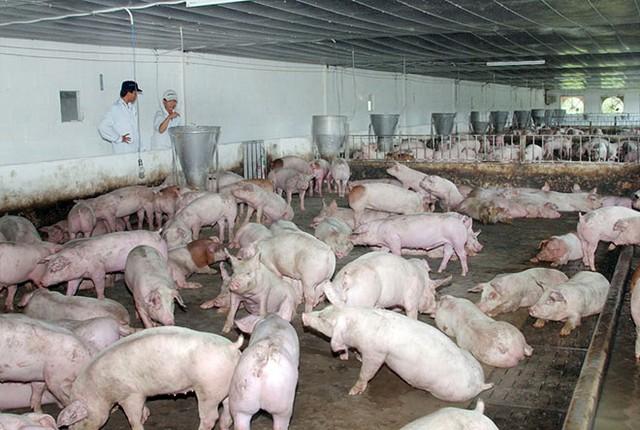 Rất ít doanh nghiệp đáp ứng được yêu cầu của phía Trung Quốc để có thể xuất khẩu thịt lợn.