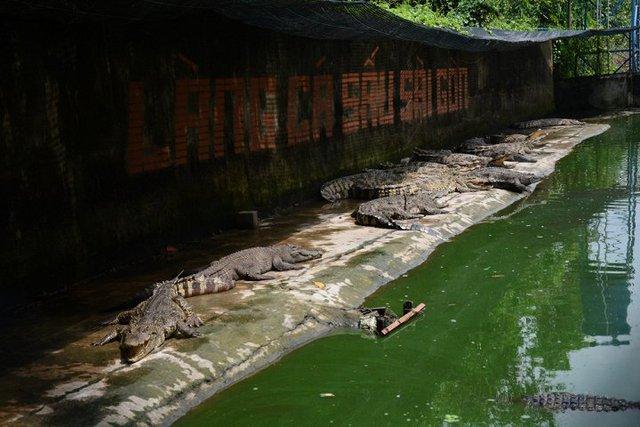 Giá cá sấu rớt thê thảm, người chăn nuôi đành giữ lại và bỏ đói cá sấu