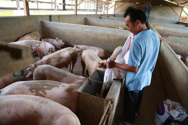 Người chăn nuôi heo thua lỗ nặng vì giá xuống thấp