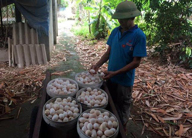 Trứng gà rớt giá, khó bán khiến người chăn nuôi điêu đứng