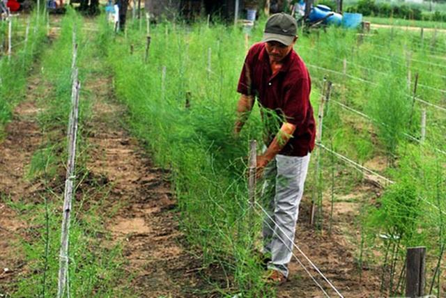 Măng tây xanh Ninh Thuận đang khan hiếm