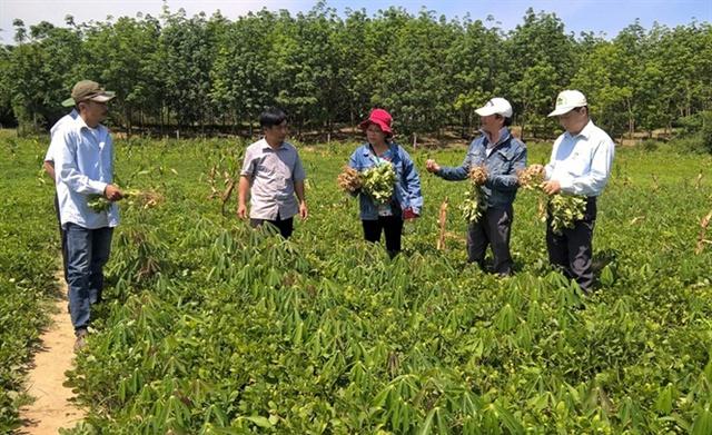 Mô hình trồng sắn xen lạc cho hiệu quả kinh tế cao