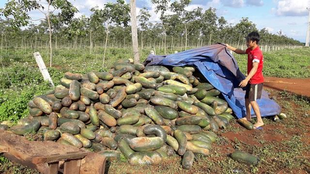 Nhiều hộ dân ở huyện Chư Sê rầu rĩ vì bí đao chất đống bỏ thối