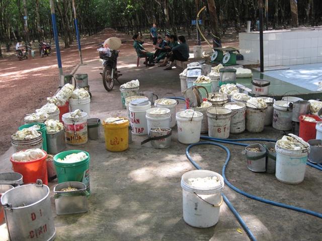 Giá mủ cao su cách đây 1 tháng là 60 triệu đồng/tấn, nay giảm còn 33 - 34 triệu đồng/tấn