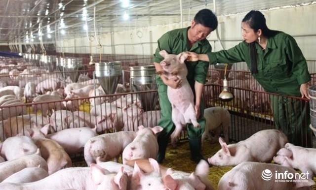 Giá lợn giảm sâu khiến người chăn nuôi thua lỗ nặng. Ảnh minh họa