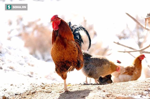 Kim kê độc lập là động tác gà vàng đứng một chân nổi tiếng kim cổ (Ảnh minh họa)