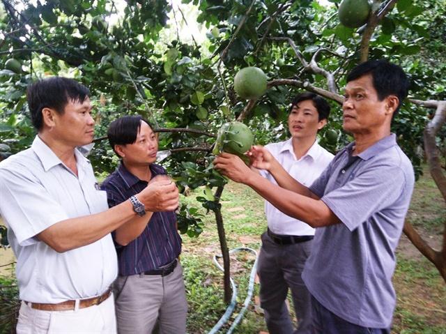 Vườn bưởi da xanh sản xuất theo quy trình VietGAP đang được cơ sở Hương Miền Tây bao tiêu sản phẩm
