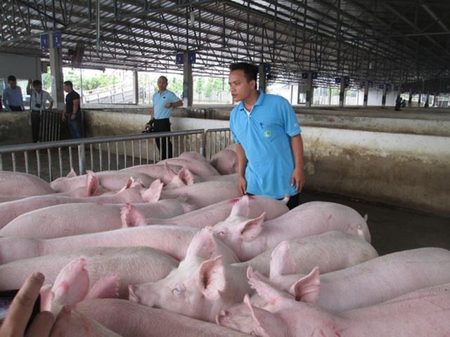 Giá thịt heo đã tăng nhưng vẫn chưa giúp người nuôi thoát lỗ Ảnh: NGỌC ÁNH