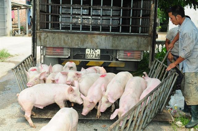 Cục Chăn nuôi khuyến cáo, dù giá lợn đang cải thiện nhưng chưa nên tái đàn nhanh