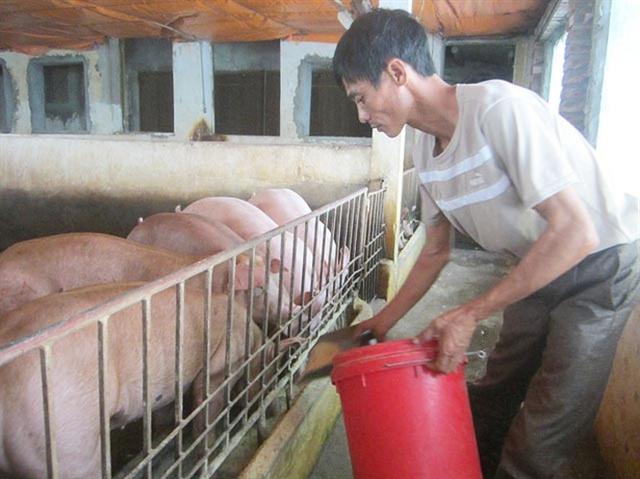 Cục Chăn nuôi khuyến cáo người chăn nuôi lợn nên bình tĩnh, không nên vội tái đàn thời điểm này
