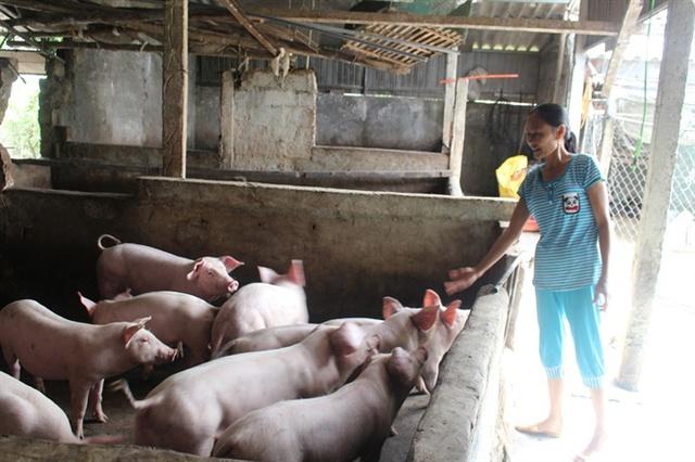 Giá lợn đã phục hồi nhưng bà Cương không còn con nào có thể xuất chuồng được