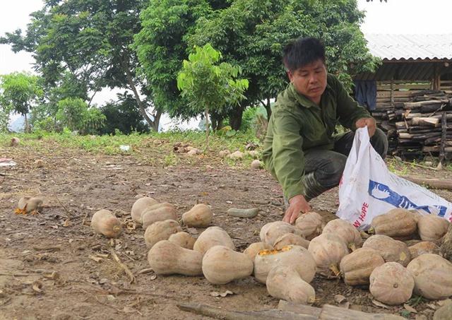 Người dân lao đao vì bí mất mùa, rớt giá thê thảm