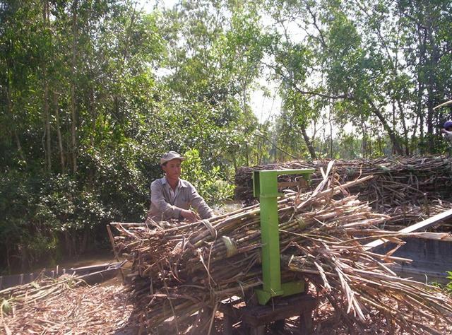 Hiện nông dân Hậu Giang đã thu hoạch được gần 500 ha bán mía mía, tuy nhiên giá năm nay khá thấp