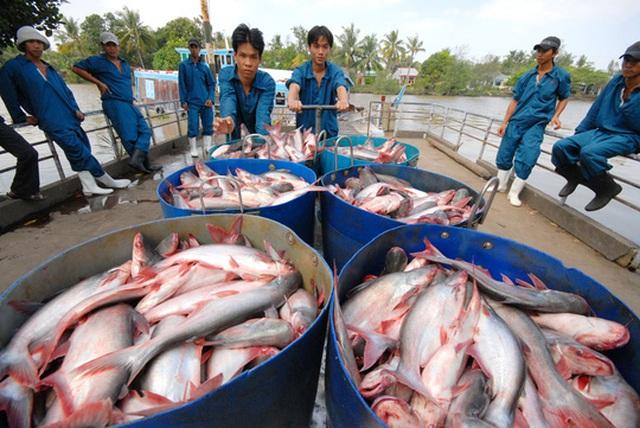 Người nuôi cá tra cần tỉnh táo, không nên tăng diện tích nuôi Ảnh: NGỌC TRINH