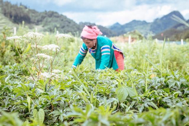 Khí hậu và thổ nhưỡng vùng cao của Việt Nam thích hợp cho nhiều loại dược liệu quý. Trong ảnh: Vùng trồng dược liệu tại tỉnh Lào Cai Ảnh: Việt Lan