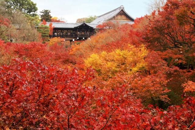 1. Kyoto. Sắc vàng bắt đầu xuất hiện vào khoảng giữa tháng 11 và có thể kéo dài đến đầu tháng 12. Buổi chiều tối thường là thời gian tốt nhất để thăm quan, vì cây cối như sáng lên nhờ sắc màu đặc biệt. Một số địa điểm đẹp nhất để xem sắc thu là Tofuku-ji, Kiyomizu-dera, Yoshimine-dera, và Eikando