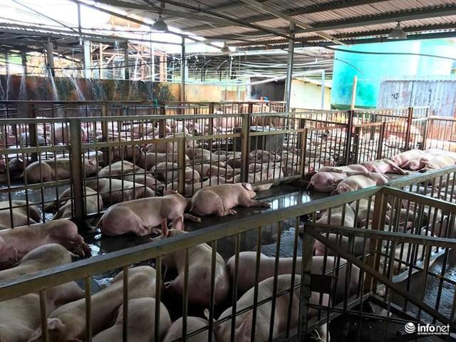 Hàng ngàn con heo bị chích thuốc an thần vẫn đang nuôi giữ tại cơ sở giết mổ Xuyên Á.