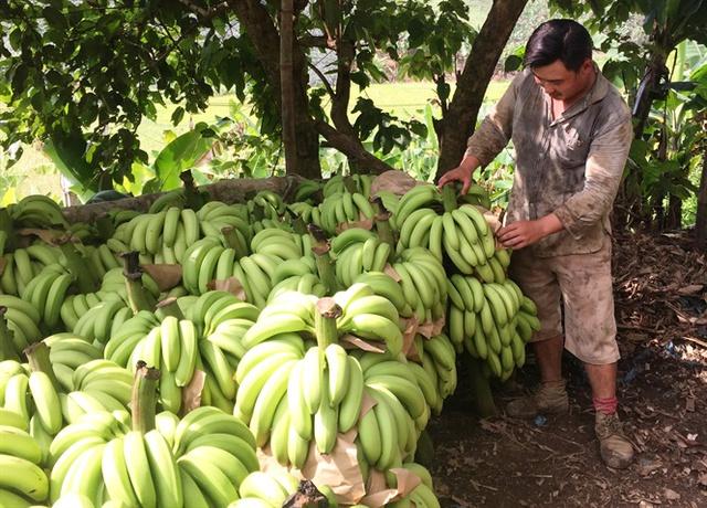 Giá chuối 1.000 đồng/kg, dân chán nản không muốn thu hoạch - Ảnh 1.