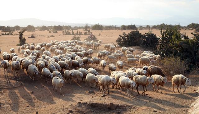 Ninh Thuận hiện có trên 90.000 con cừu