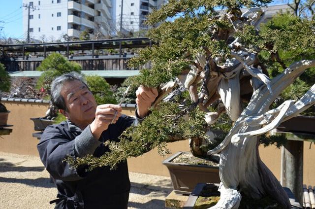 Bậc thầy bonsai Kunio Kobayashi tận tay chăm sóc những tạo tác của thiên nhiên trong khu vườn bonsai của mình. Ảnh: Wattention.
