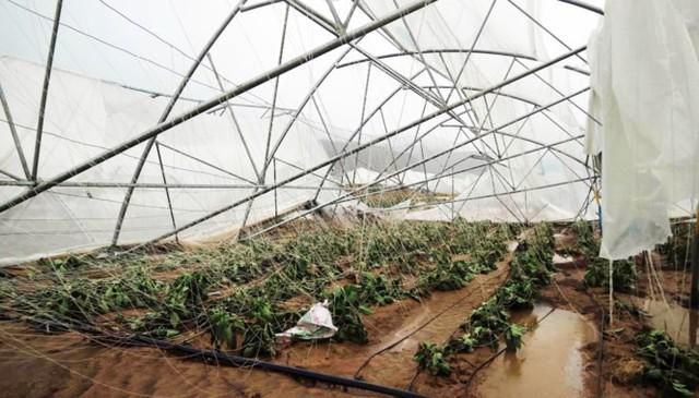 Rau trồng nhà kính bị hư hỏng.
