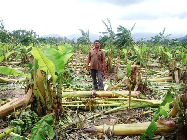 Vườn chuối hơn 1.000 cây của anh Hồ Quang Du bị gãy đổ hoàn toàn